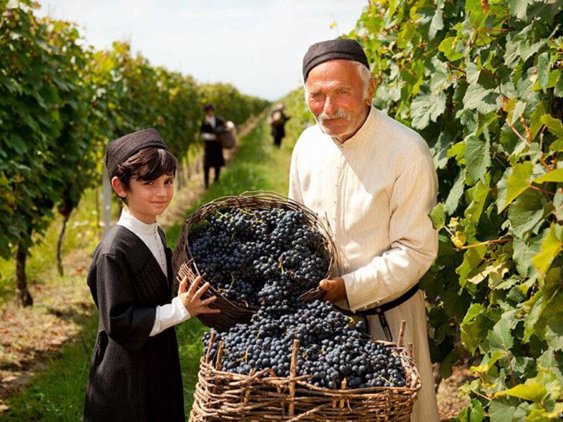 собирать виноград грузия